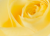 Yellow rose macro photograph in very soft focus. Only the petals of the flower are visible. No people in image. Perfect background image with copy space available. Horizontal composition. High resolution color photograph.