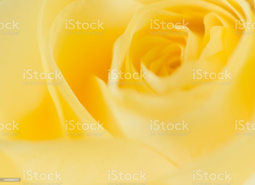 Yellow Rose Macro Photo stock photo