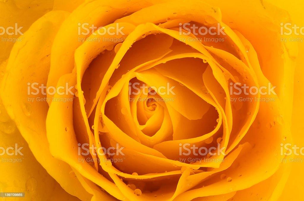 Yellow Rose macro royalty-free stock photo