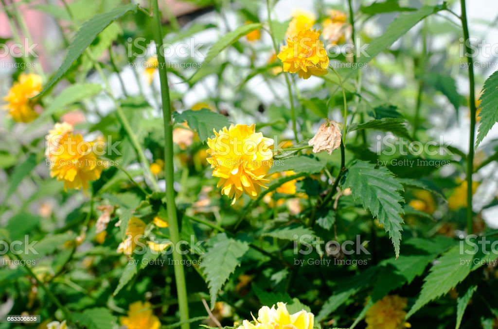 Yellow Rose on a bush in a garden foto stock royalty-free