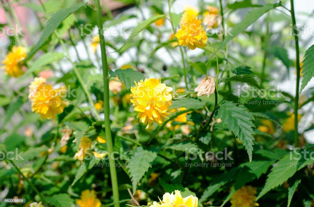 庭の茂みに黄色いバラ ロイヤリティフリーストックフォト