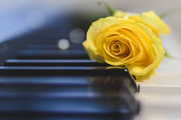Yellow rose on a piano, beautiful blur background stock photo