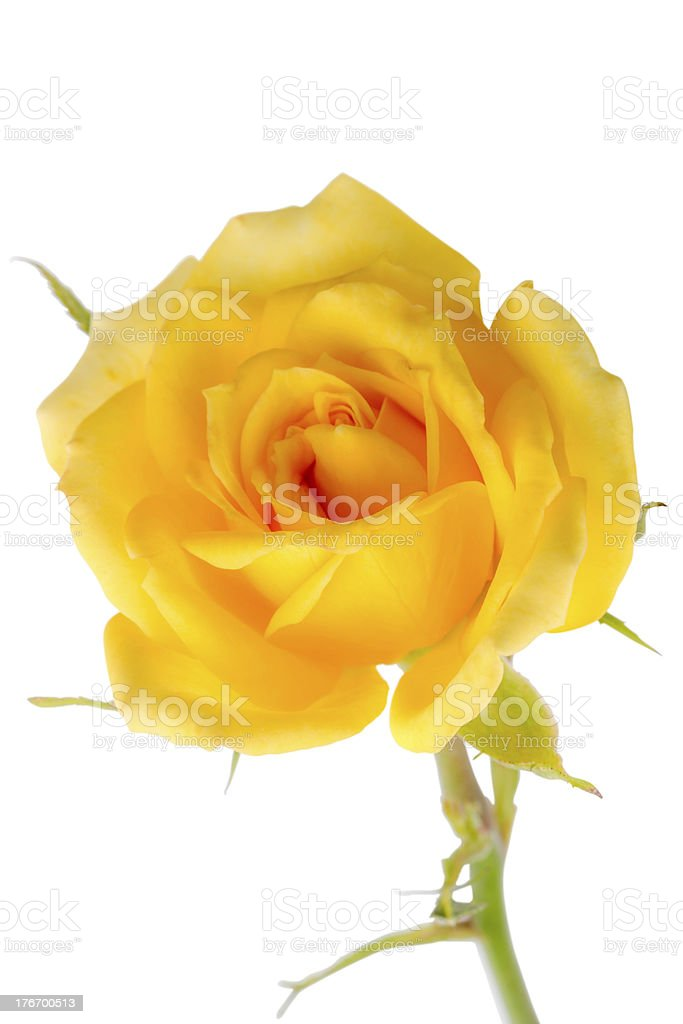 Yellow rose on a white royalty-free stock photo