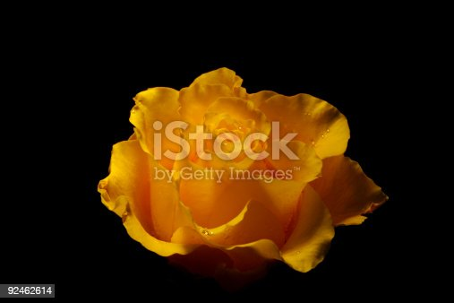 istock Yellow rose on black background 92462614