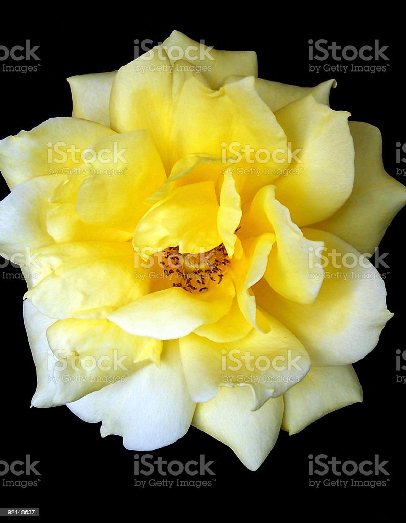 Yellow rose on black royalty-free stock photo