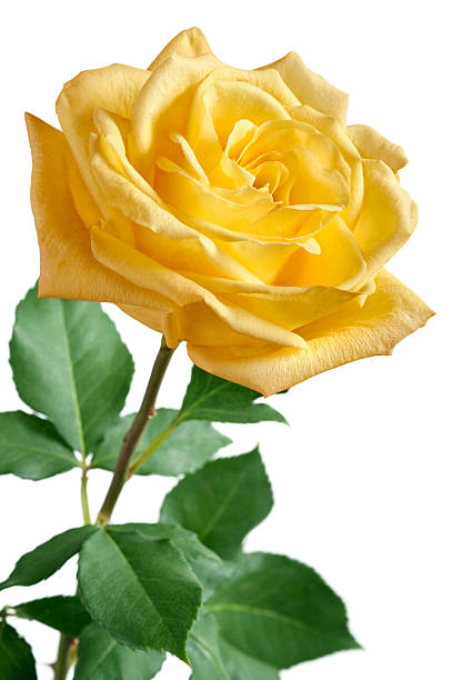 Yellow Rose on White Background stock photo