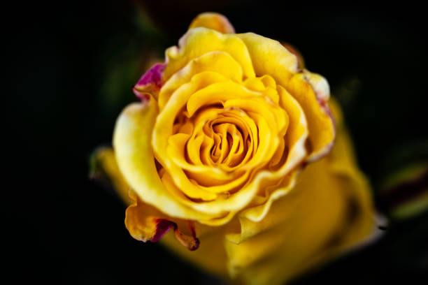 gelbe Rose – Foto