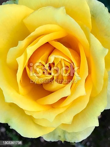 Yellow Rose flower in bloom