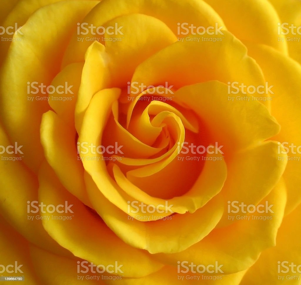 Yellow rose royalty-free stock photo