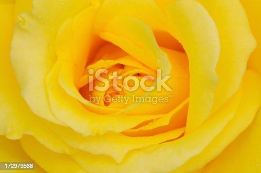 yellow rose closeup.Check also: