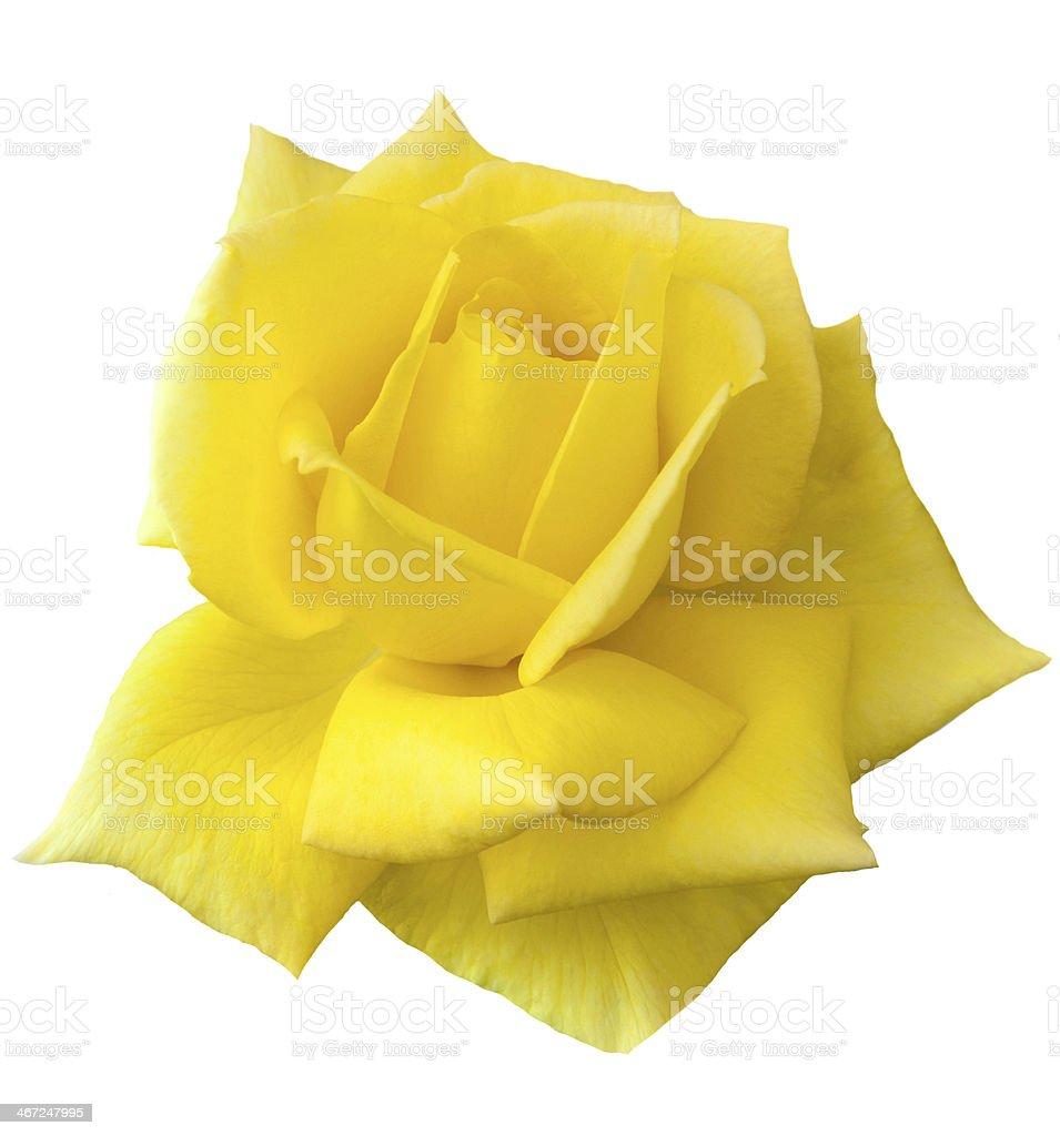 yellow rose royalty-free stock photo