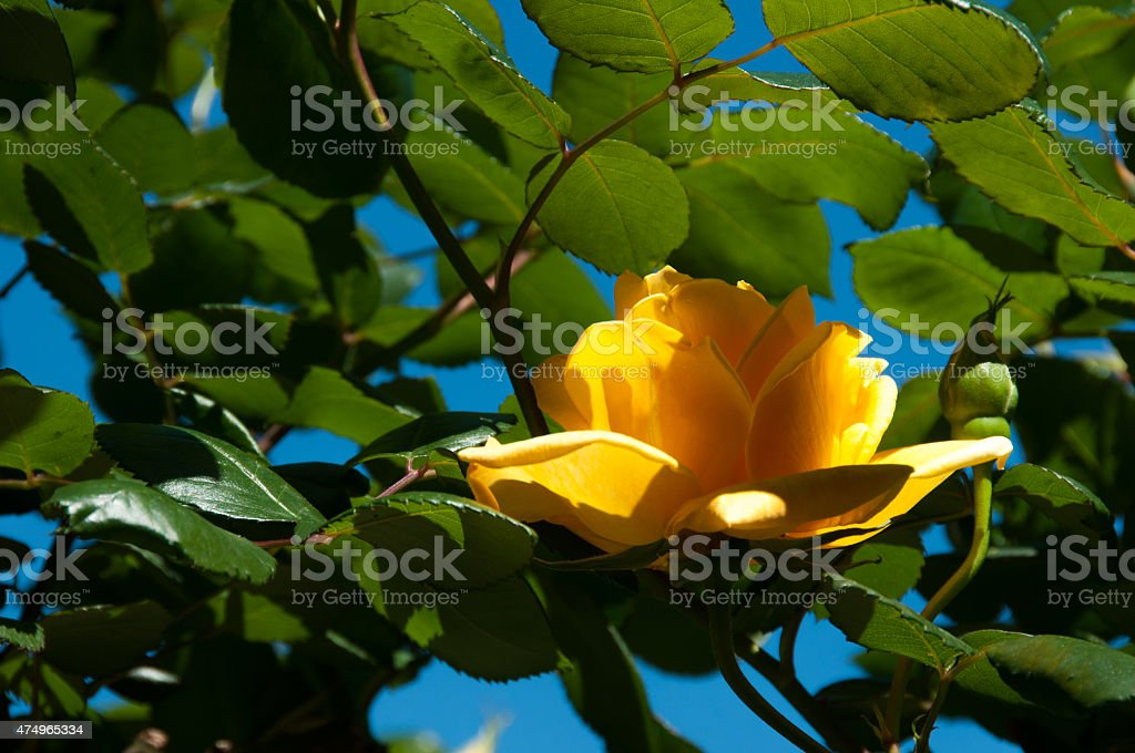 Yellow Rose – Foto