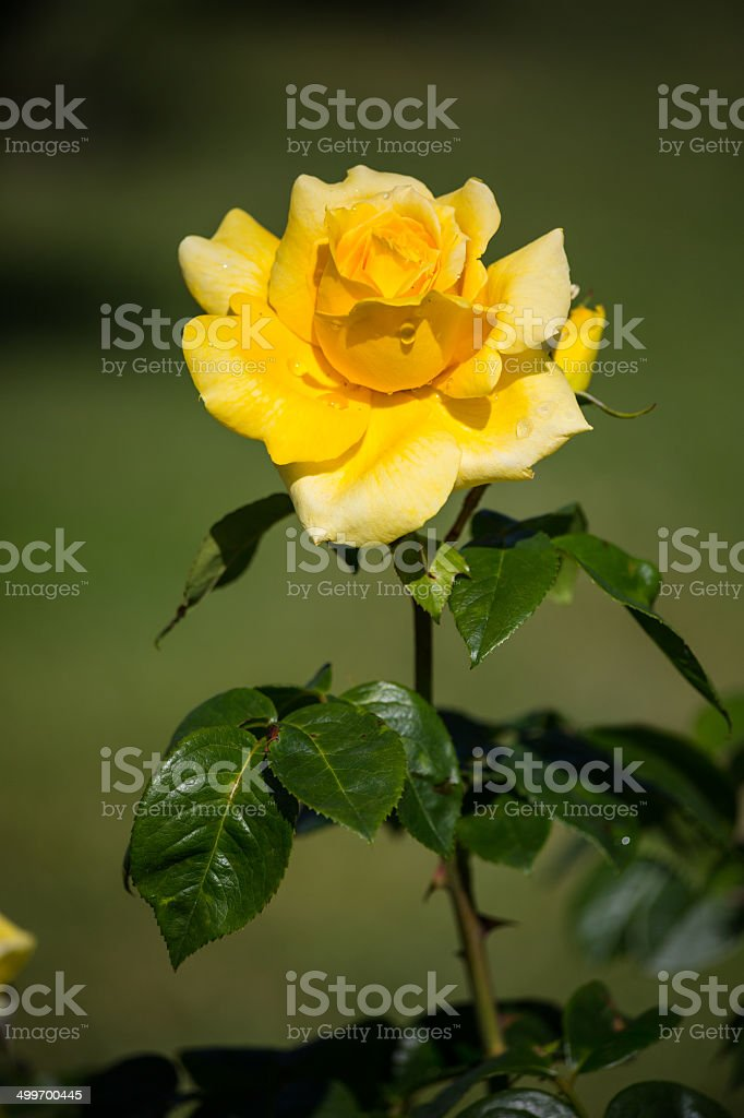 Giallo rosa - foto stock