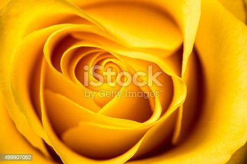 istock Yellow Rose. 499907052
