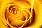 Yellow Rose.