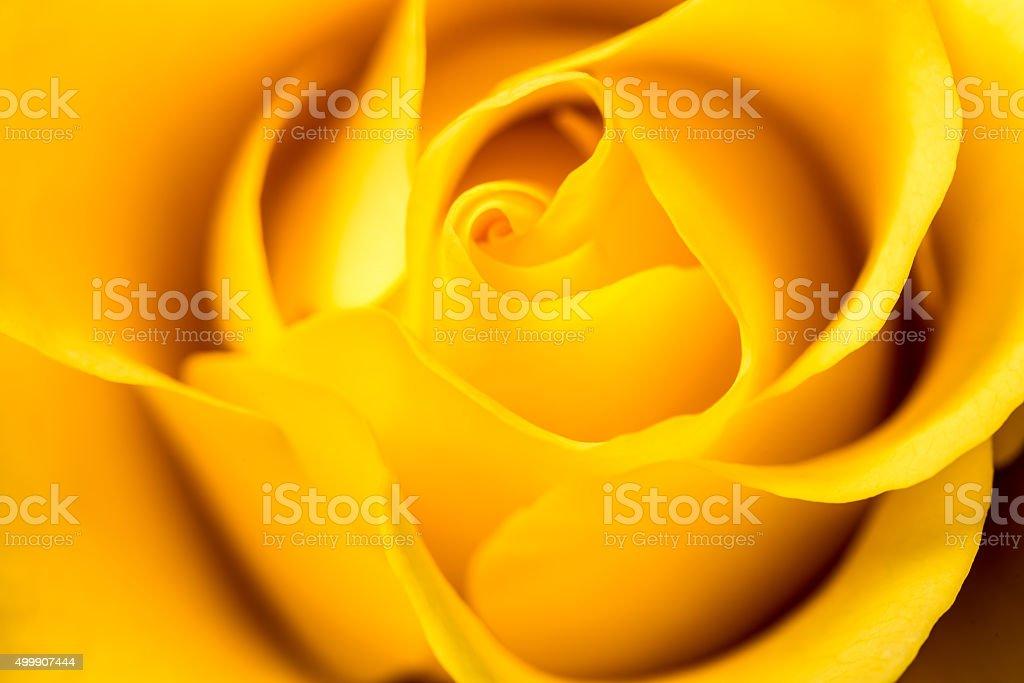 Rosa Amarela. - foto de acervo