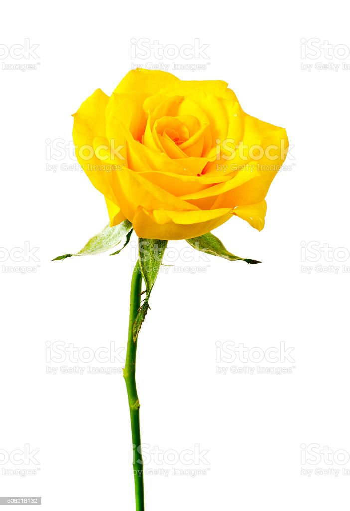 Yellow rose stock photo