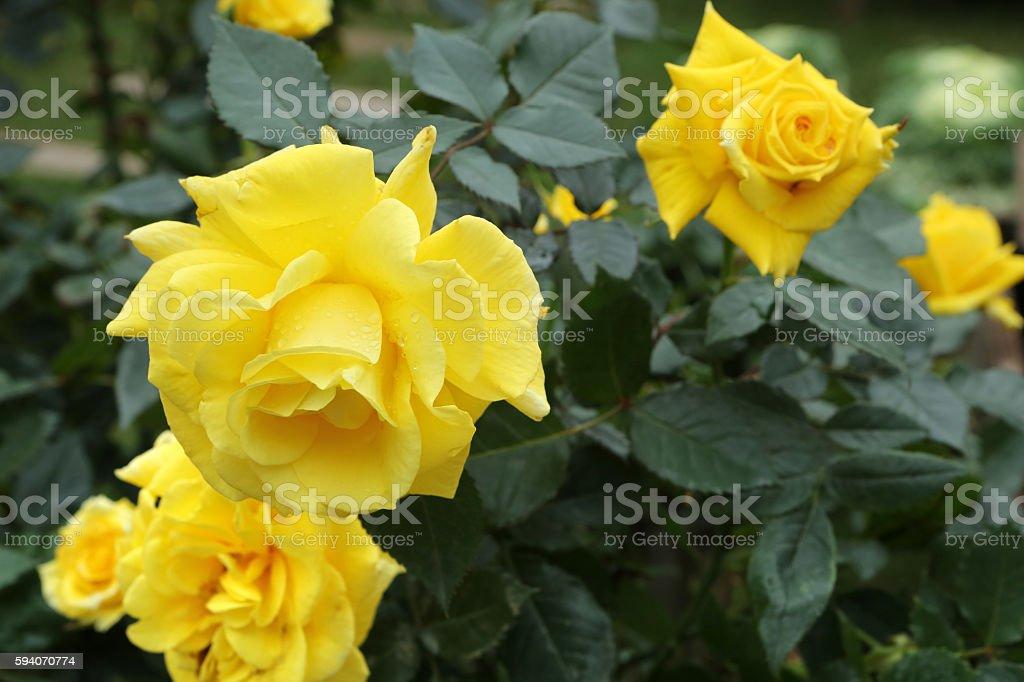Yellow Rose stock photo