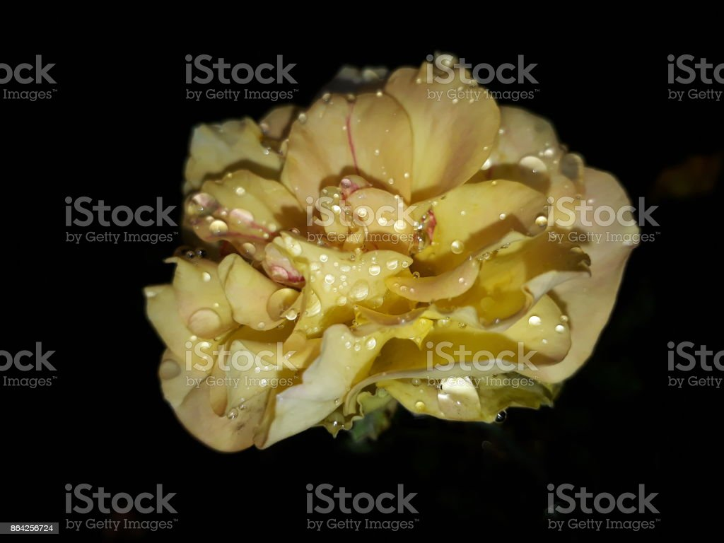 Yellow Rose. royalty-free stock photo