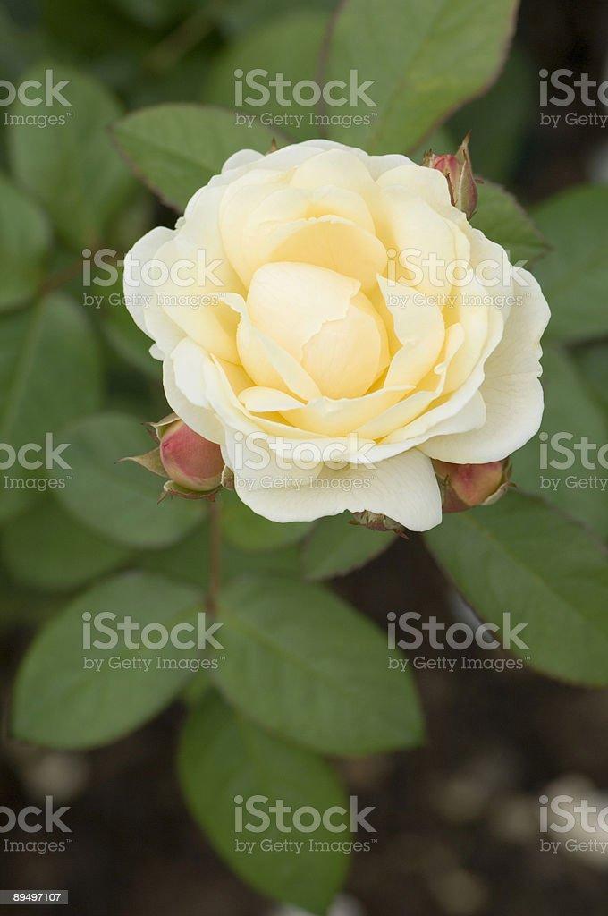 yellow rose royaltyfri bildbanksbilder