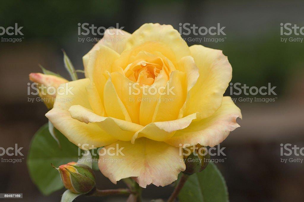 Giallo rosa foto stock royalty-free
