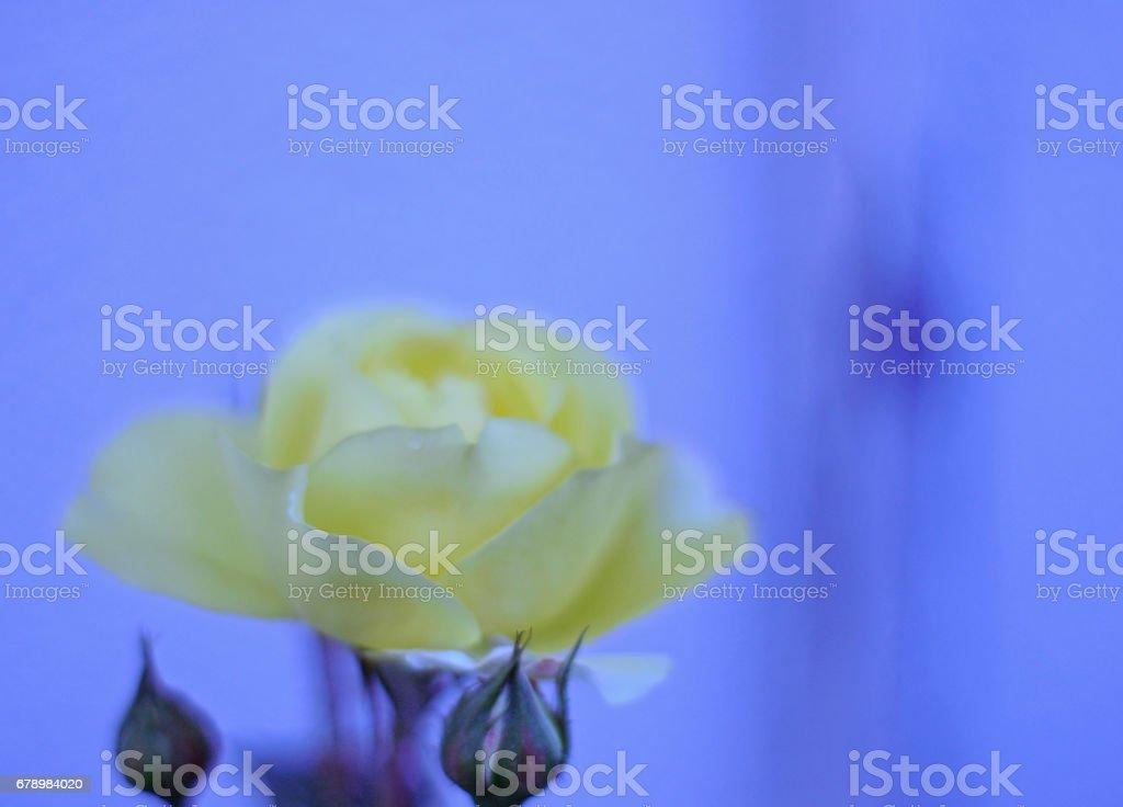Yaz İsveç Sarı Gül royalty-free stock photo