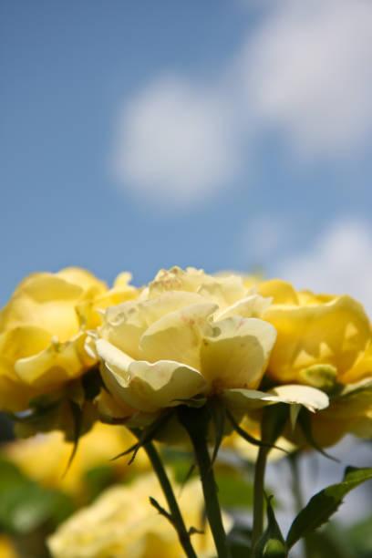 Yellow rose tops stock photo