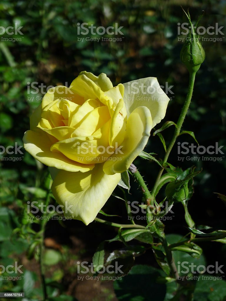 Yellow Rose Tropical Rose Garden Stock Photo 638870754 Istock