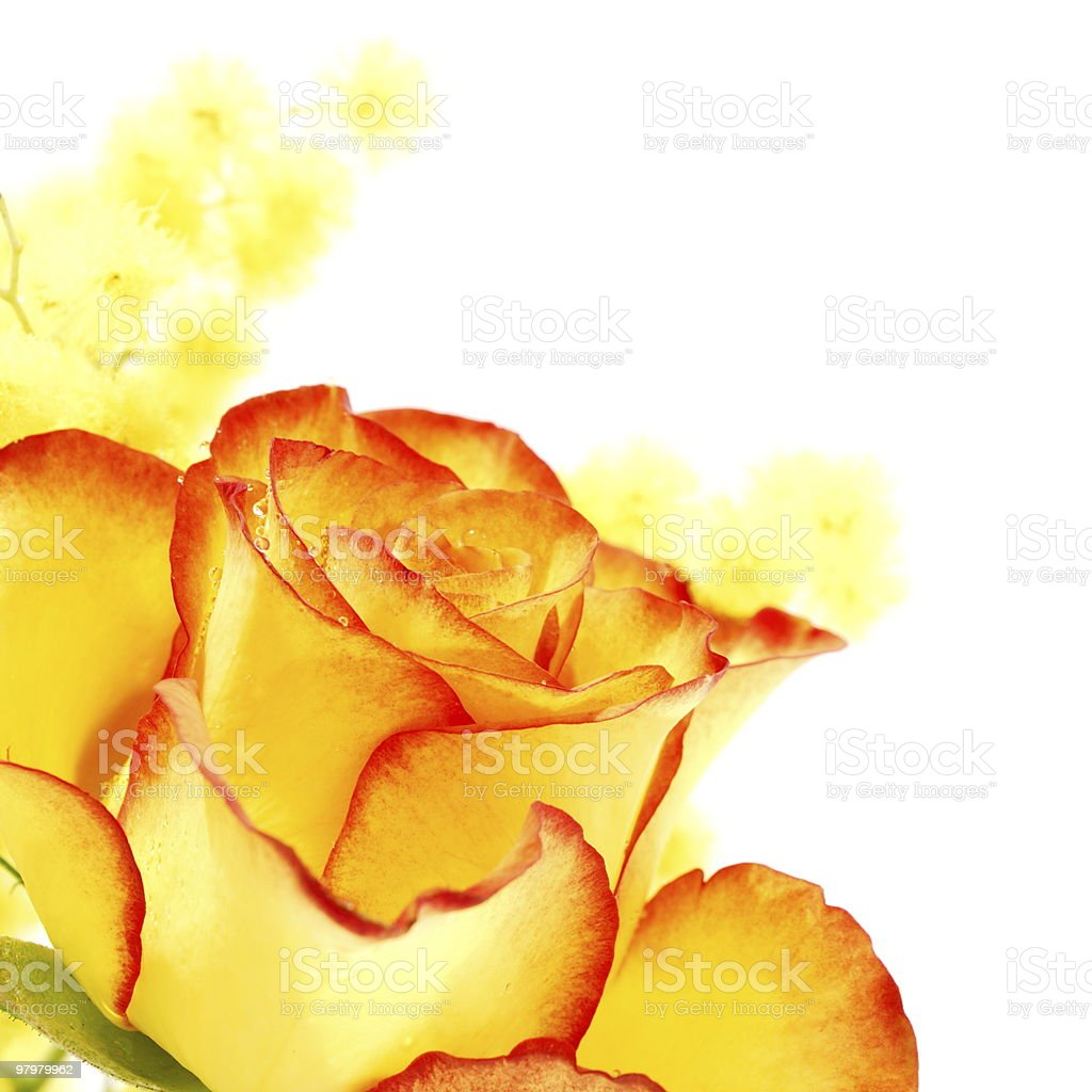 Yellow rose with red edges royalty-free stock photo