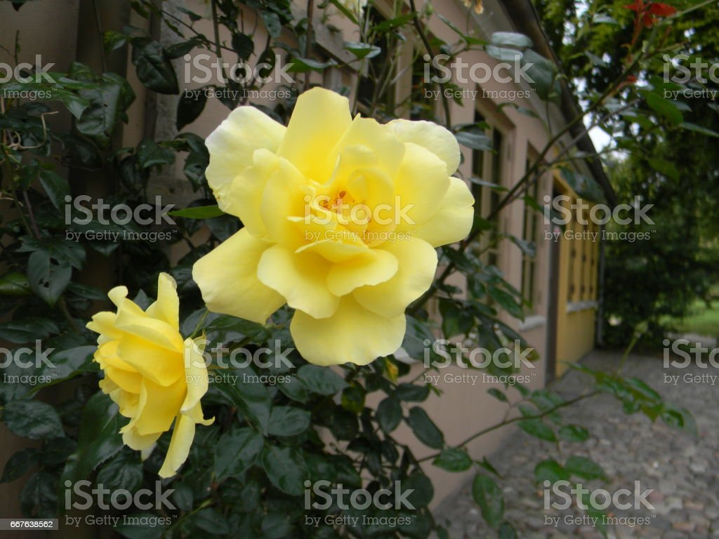 Yellow Roses Against the House stock photo