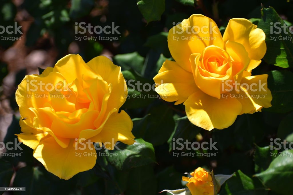 Yellow Roses and Leaves stock photo