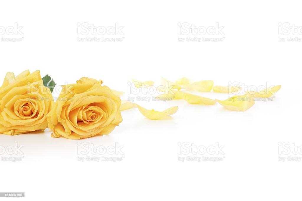 Yellow Roses and petals royalty-free stock photo