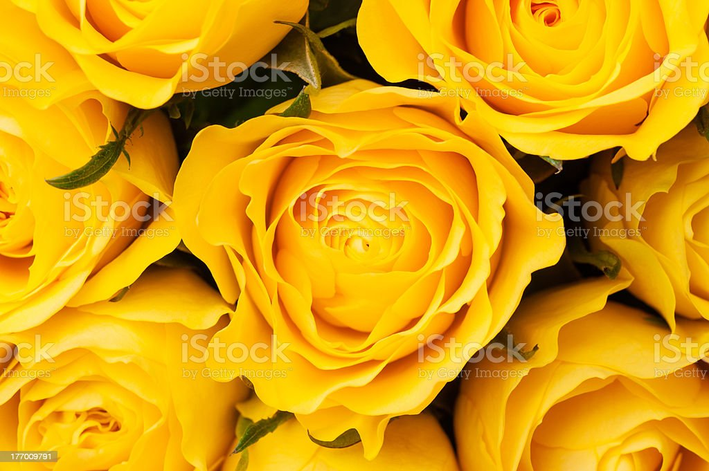 Yellow roses background royalty-free stock photo