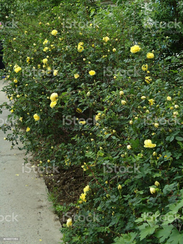 Yellow roses begin to bloom on a bush along a paver. Rose Foetida. Persian Yellow. stock photo