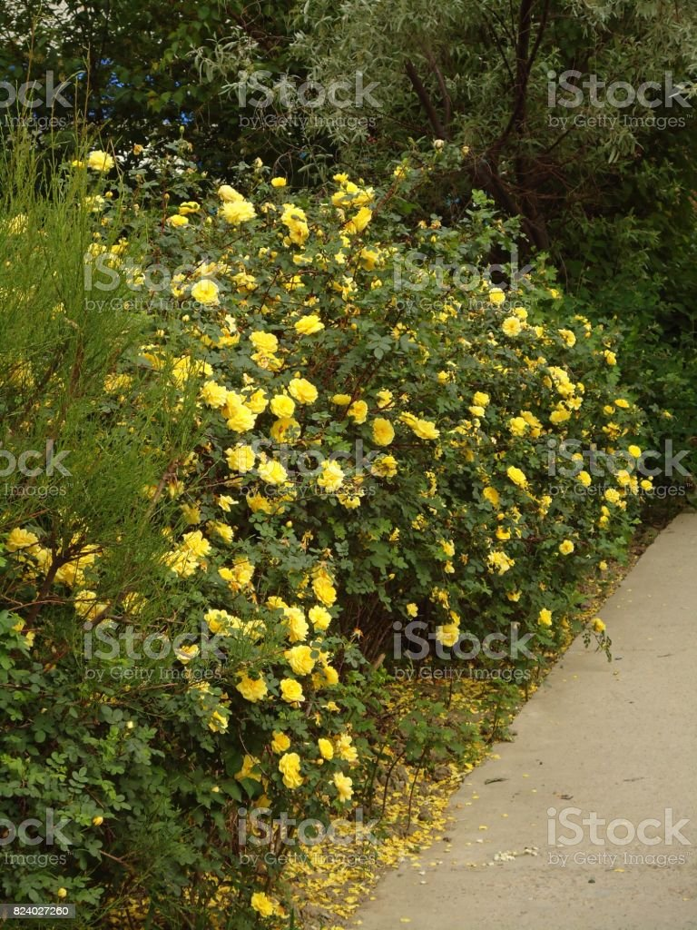 Yellow roses in full bloom on a bush along a path. stock photo
