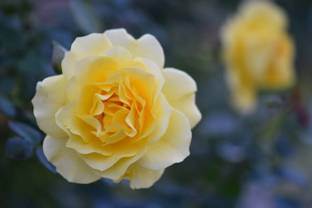 yellow roses in late afternoon light - steven harrie stock pictures, royalty-free photos & images