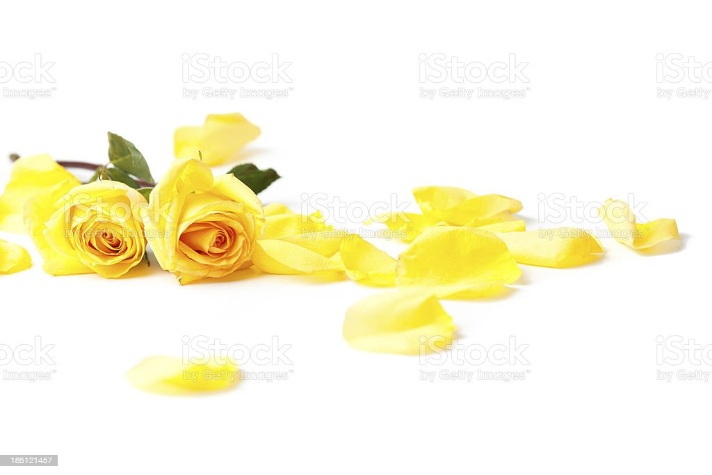 yellow roses laying down on white background stock photo