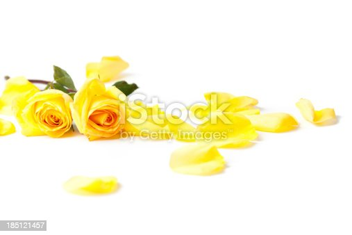 Yellow garden rose flower, buds and leaves in a line arrangement isolated on white