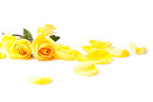 Yellow Roses and petals laying down on a white background.