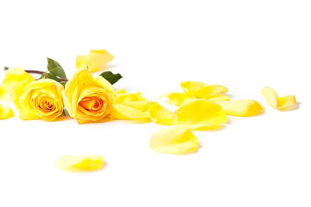 Yellow roses laying down on white background picture id185121457?b=1&k=6&m=185121457&s=612x612&w=0&h=yghi5vpmzkurtn0gsxm7qw0xrnae h0likfygymdmfm=