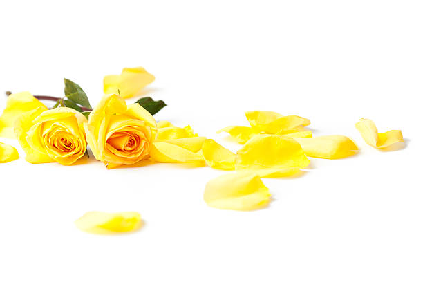 Royalty Free Yellow Roses Pictures, Images and Stock ...