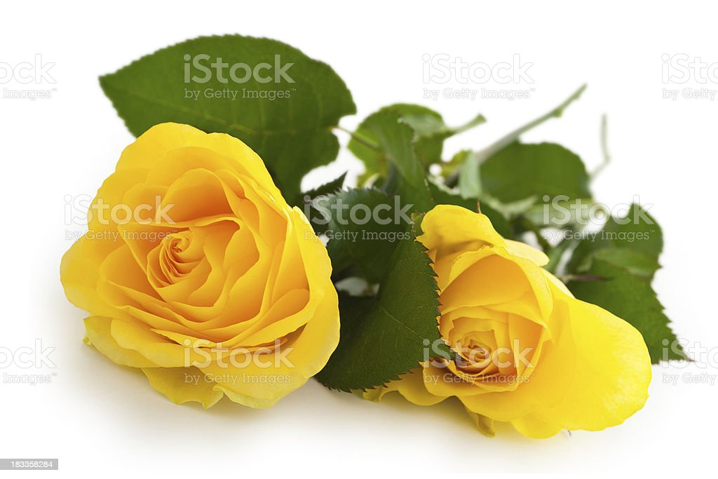 Yellow Roses. stock photo