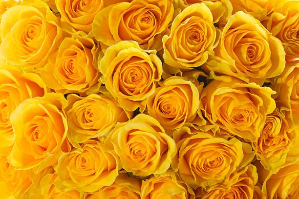 yellow roses圖像檔