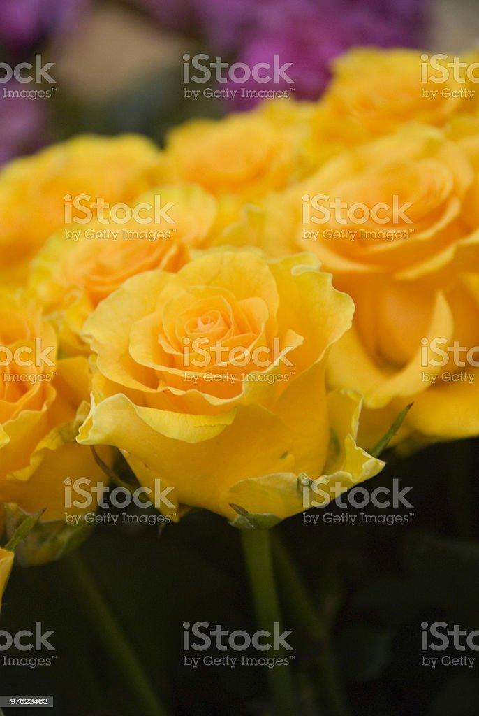 Yellow roses royaltyfri bildbanksbilder