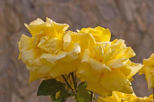 Yellow Roses with rain drops - Rosas Amarillas con Gotas de Lluvia