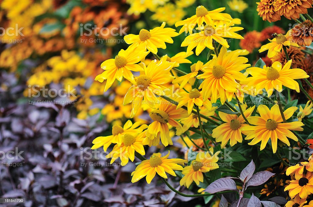 yellow rudbeckia flowers stock photo