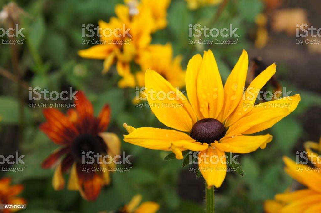Yellow rudbeckia or Black-eyed-Susan flower in garden stock photo