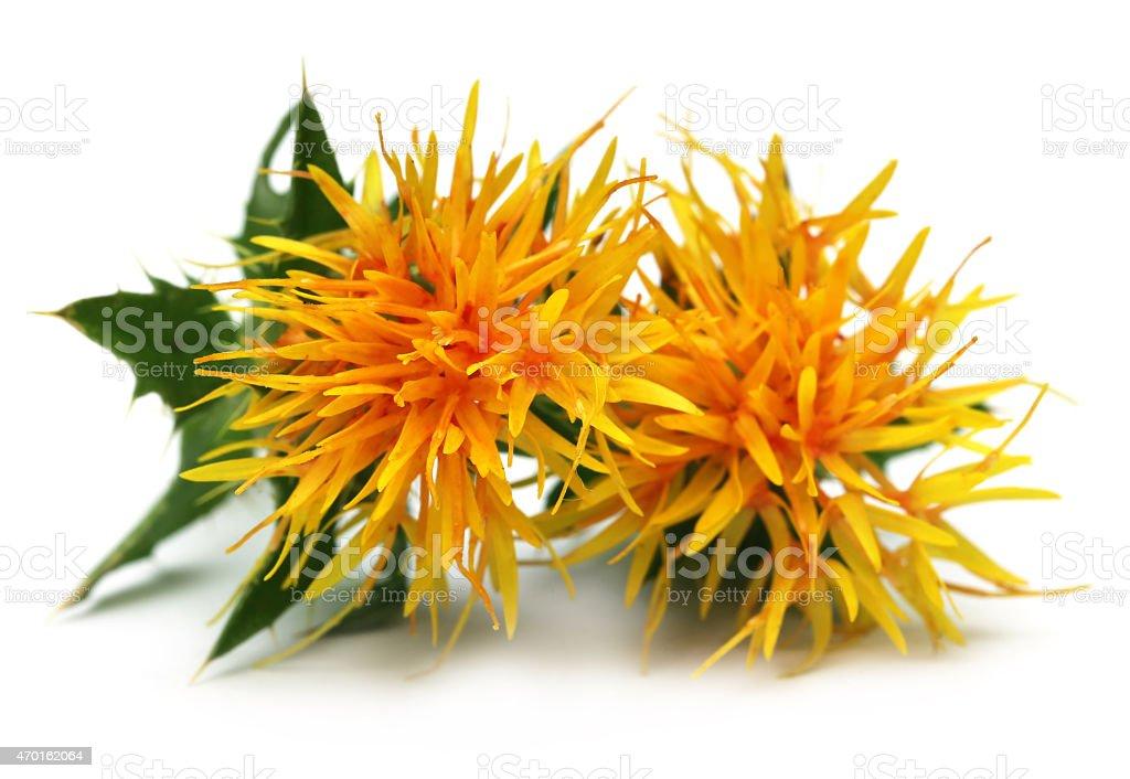 Yellow Safflower stock photo