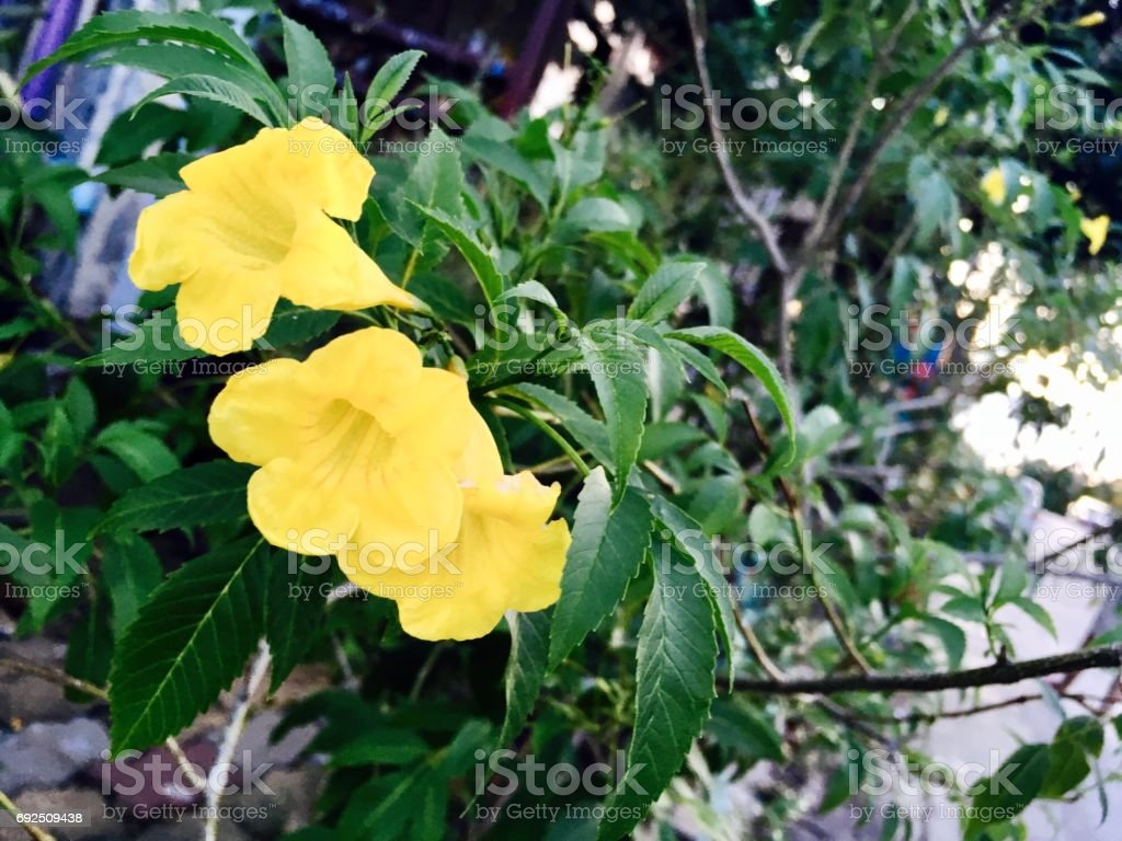 Yellow Sage Rose Flowers With Green Leaves Stock Photo More