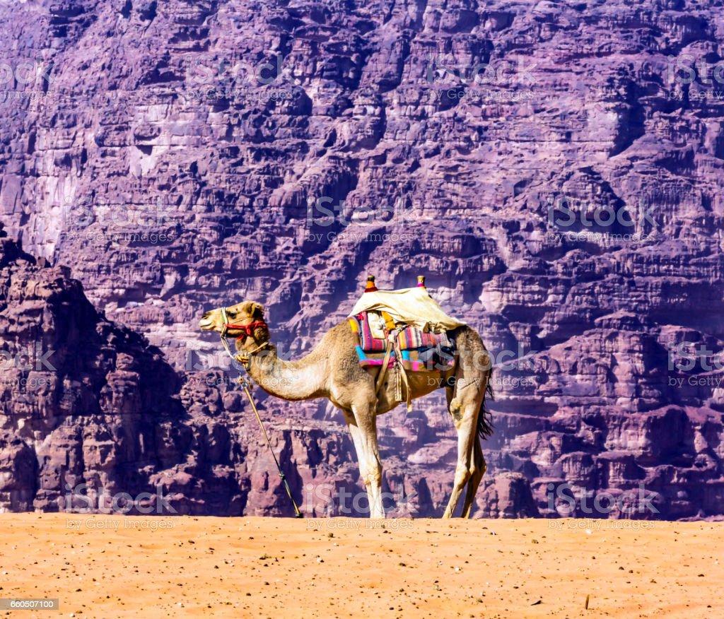 Yellow Sand Dune Camel Valley of Moon Wadi Rum Jordan stock photo